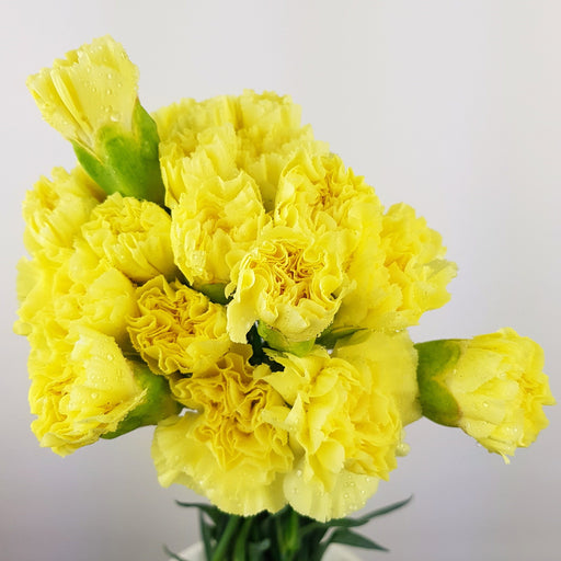Carnations (Imported) - Yellow