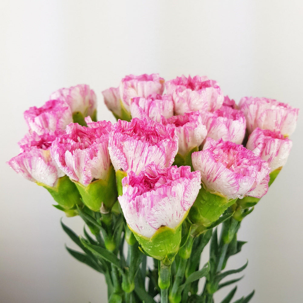 Carnations (Imported) - 2 Tone White and Pink