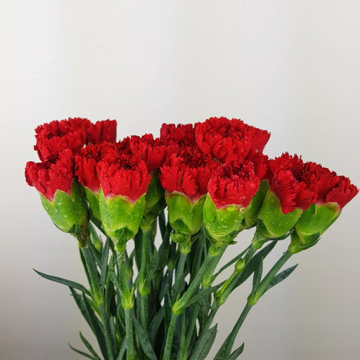 Carnations (Local) - Red