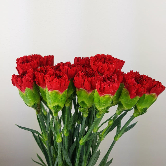 Carnations (Imported) - Red