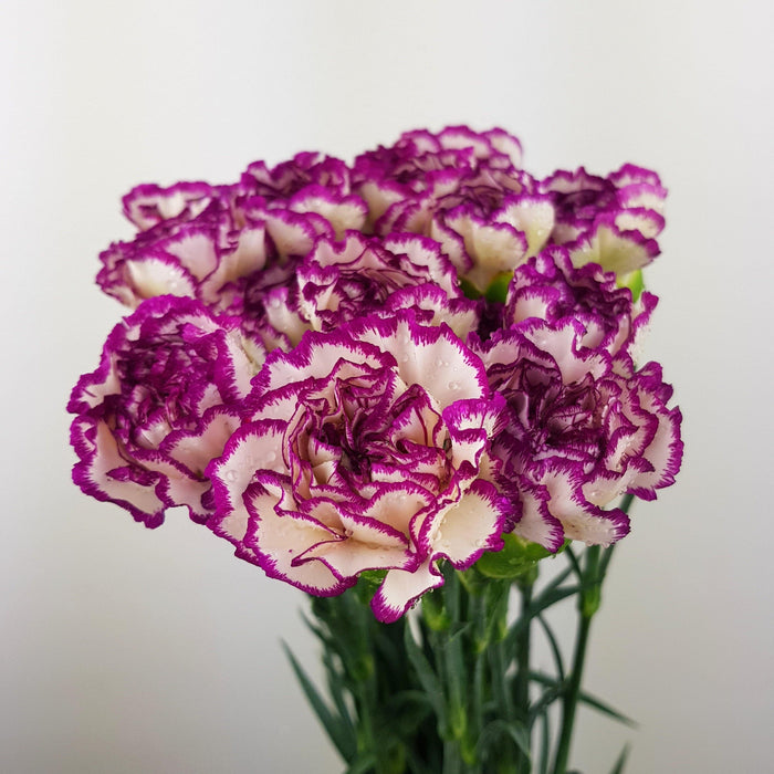Carnations (Imported) - 2 Tone White and Purple