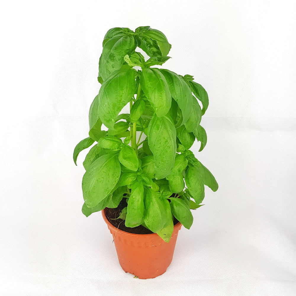 2 Pot Sweet Basil (Local) - Green
