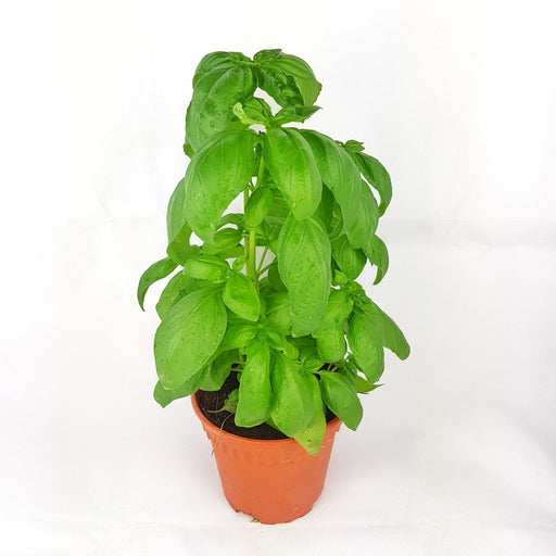 Pot Sweet Basil