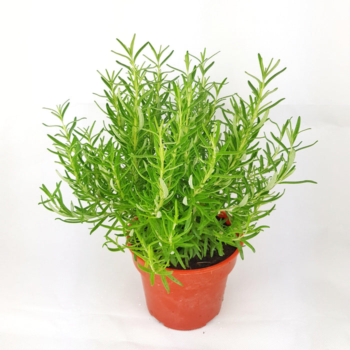 2 Pot Rosemary (Local) - Green