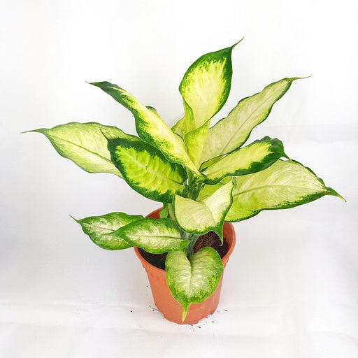 Pot Dieffenbachia P150 (Local) - 2 Tone Yellow Green
