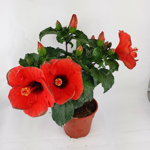 Flowering Plants Malaysia Flower Plant At Wholesale Prices