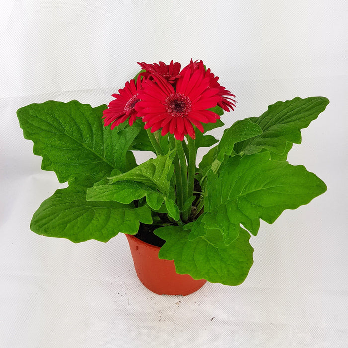 2 Pot Daisy - Red