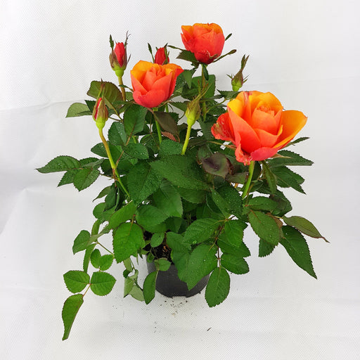 Pot Mini Rose