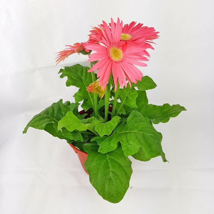 2 Pot Daisy (Local) - Light Pink