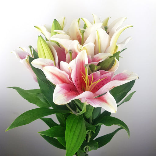 Casa Tiber Lily (imported) - 2 Tone Pink