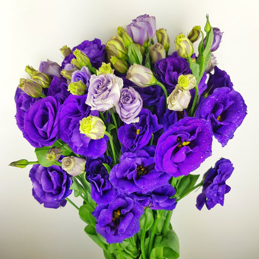 Eustoma (Imported) - Purple
