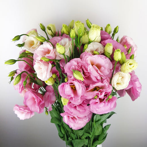 Eustoma (Imported) - Pink
