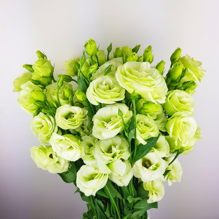 Eustoma (Imported) - Light Green