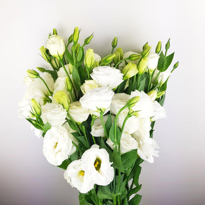 Eustoma (Imported) - White