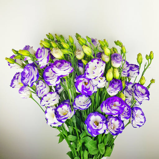 Eustoma (Imported) - 2 Tone Purple & White