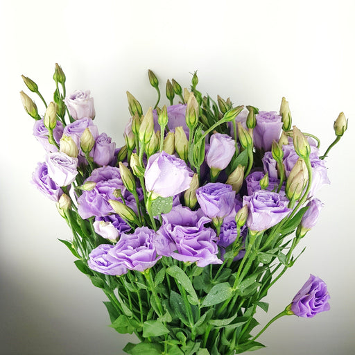 Eustoma (Imported) - Light Purple
