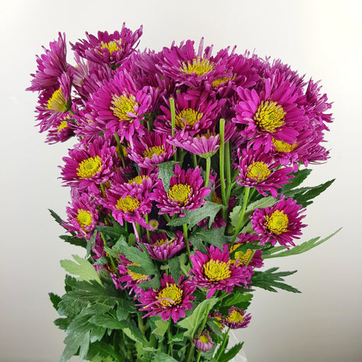 Pom Pom (Local) - Purple Yellowhead