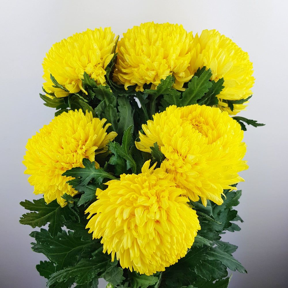 2 Bundle Mum Taiwan (Local) - Yellow