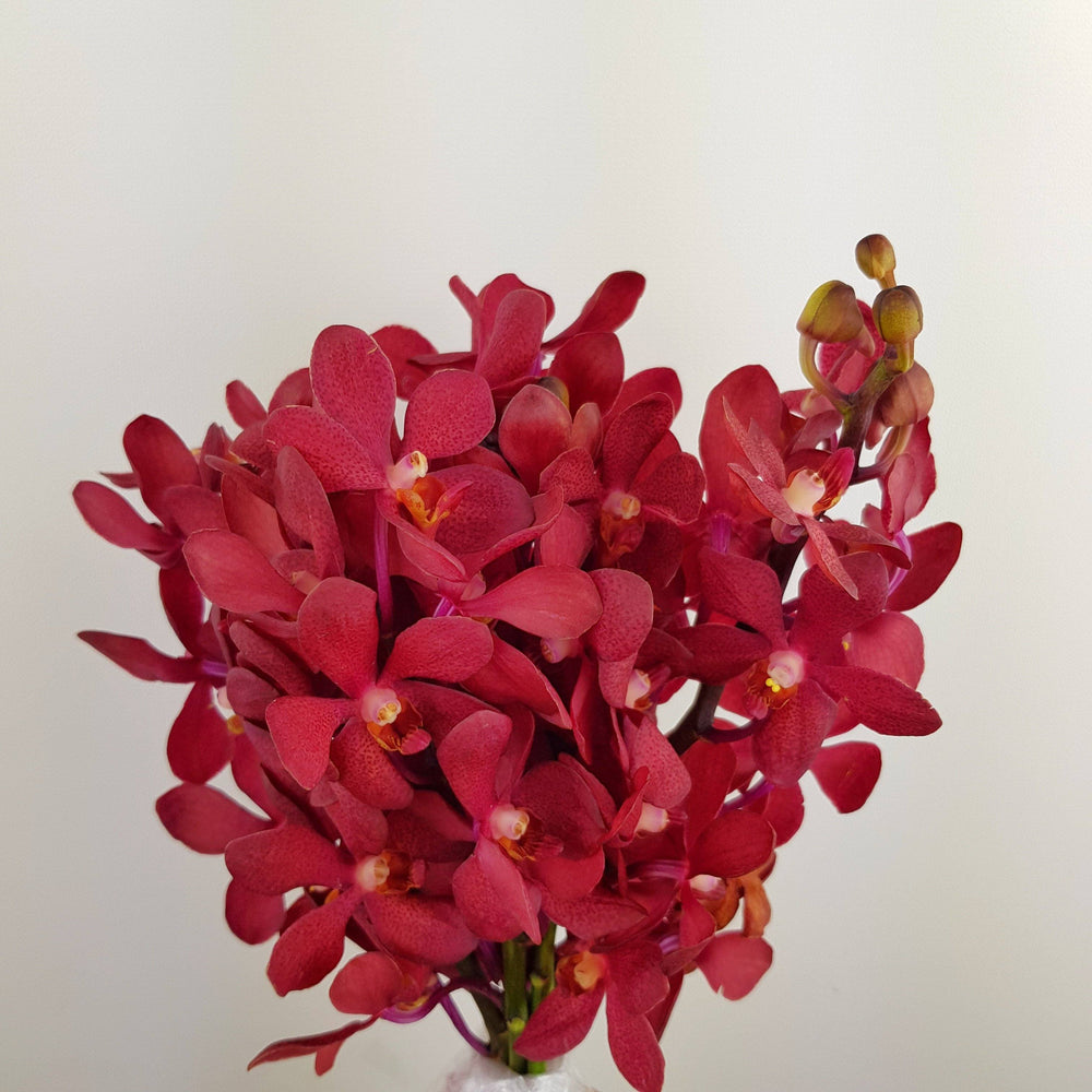 2 Bundle Orchid (Medium) - Maroon
