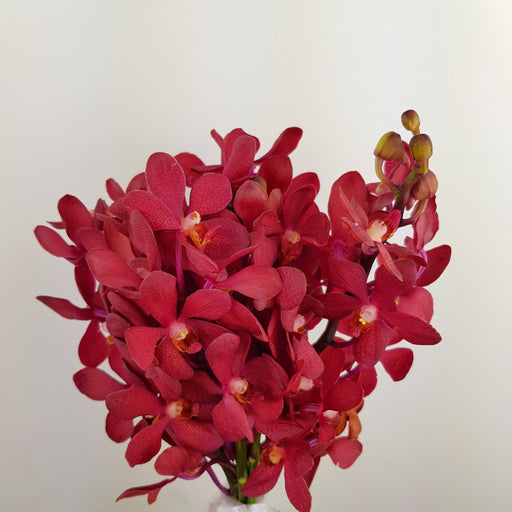 Orchid (Medium) - Maroon