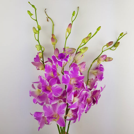 Orchid (Premium) - Light Purple