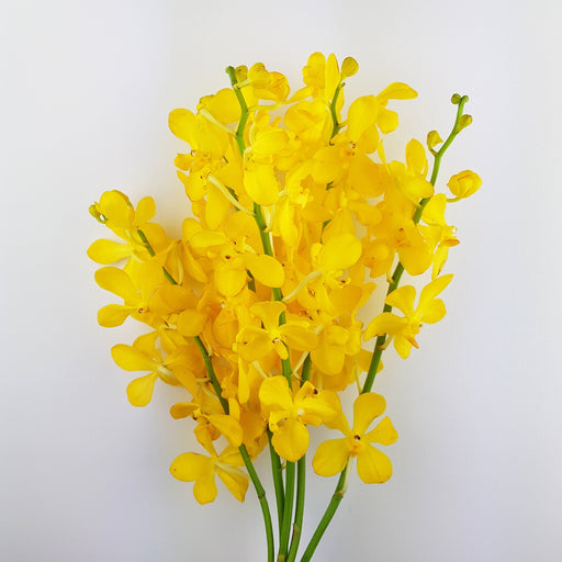 Orchid (Medium) - Yellow