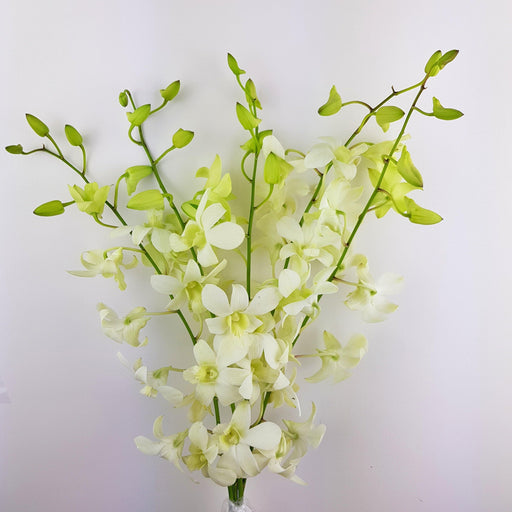 2 Bundle Orchid - White