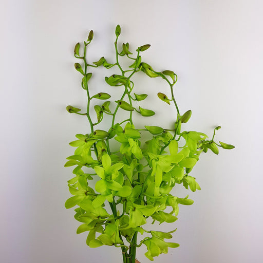 2 Bundle Orchid - Green