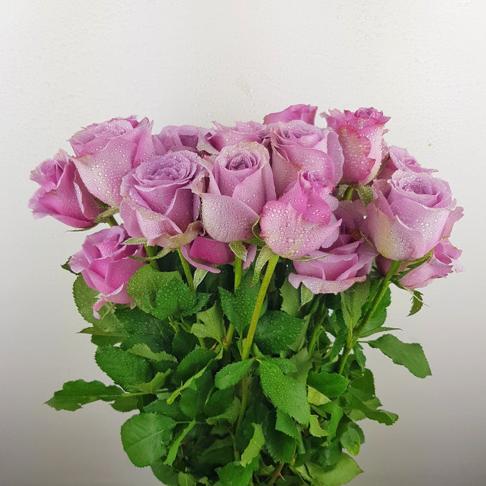 Rose (Imported) - Purple