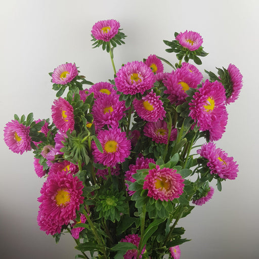 Aster (Local) - Pink