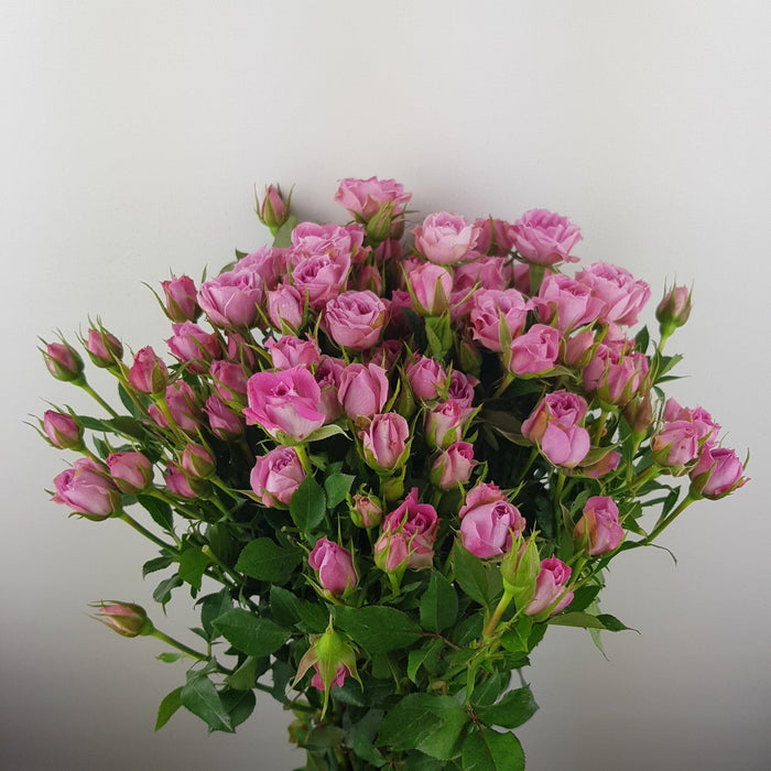 Spray Rose (Imported) - Light Pink