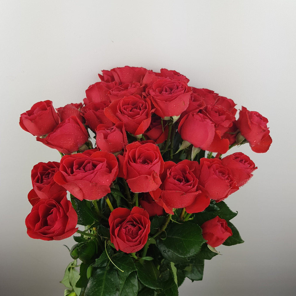 Spray Rose (Imported) - Red