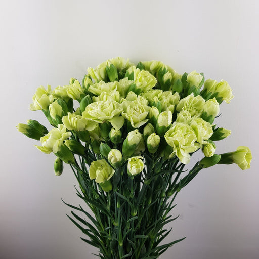 Spray Carnation (Imported) - Light Green