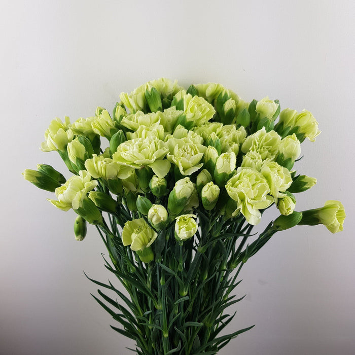 Spray Carnation (Imported) - Green