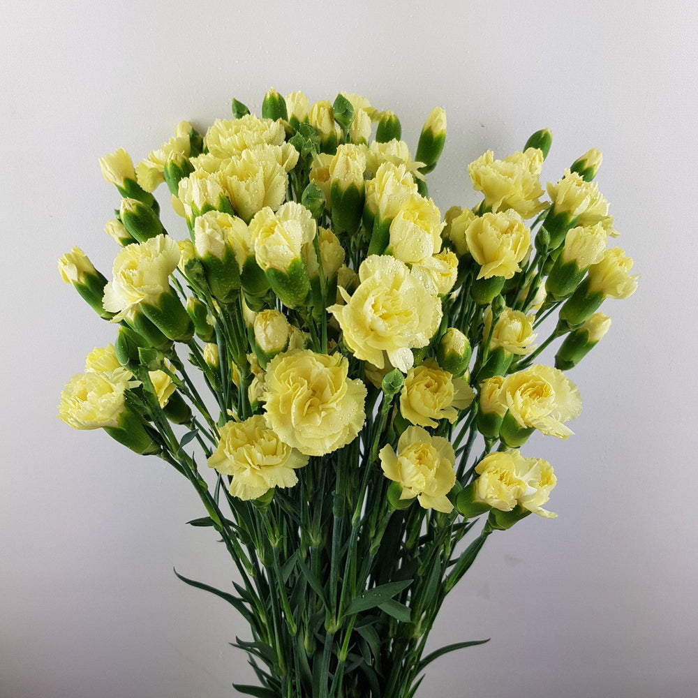 Spray Carnation (Imported) - Light Yellow