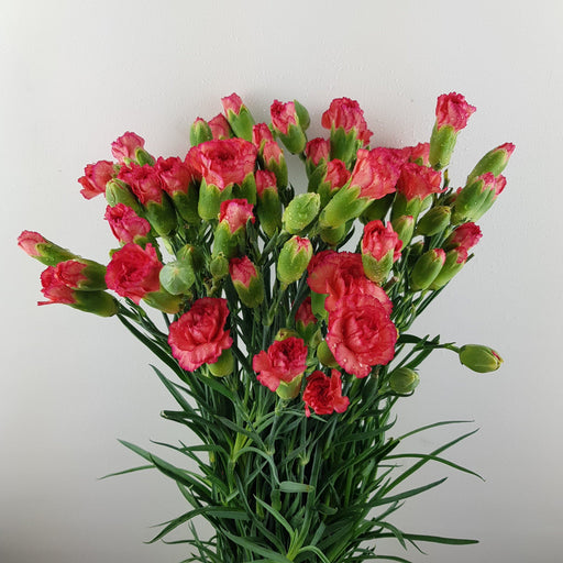 Spray Carnation (Imported) - Orange