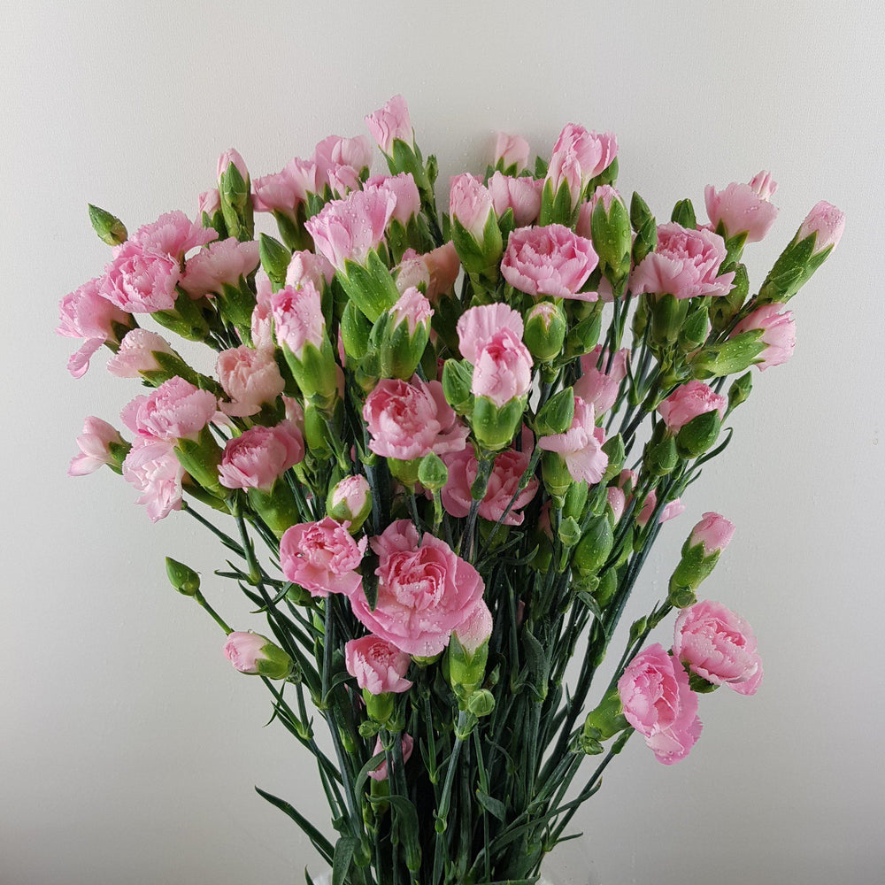 Spray Carnation (Imported) - Pink