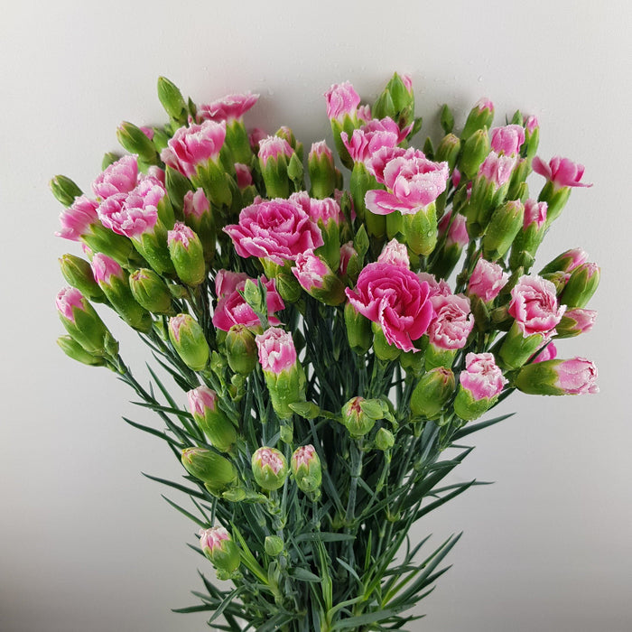Spray Carnation (Imported) - 2 Tone Pink