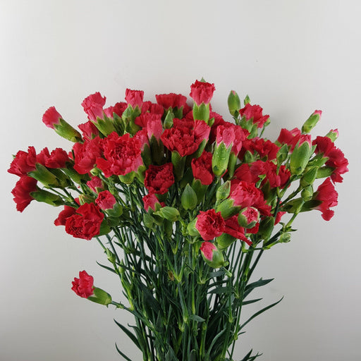 Spray Carnation (Imported) - Red