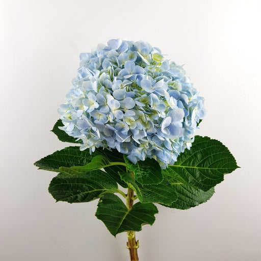2 Stems of Hydrangea (Local) - Blue