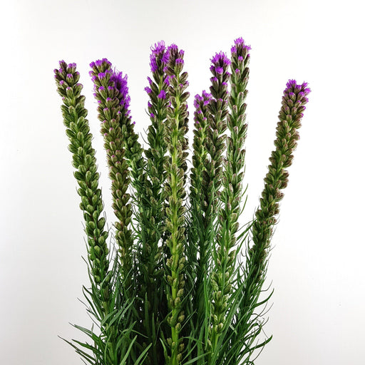 Liatris (Local)