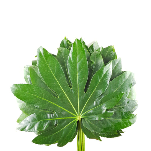 2 Bundle Fatsia (Local)