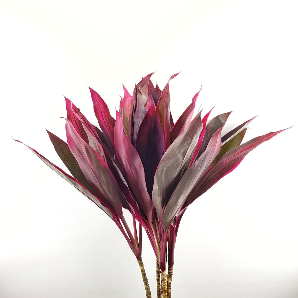 Cordyline (Local)