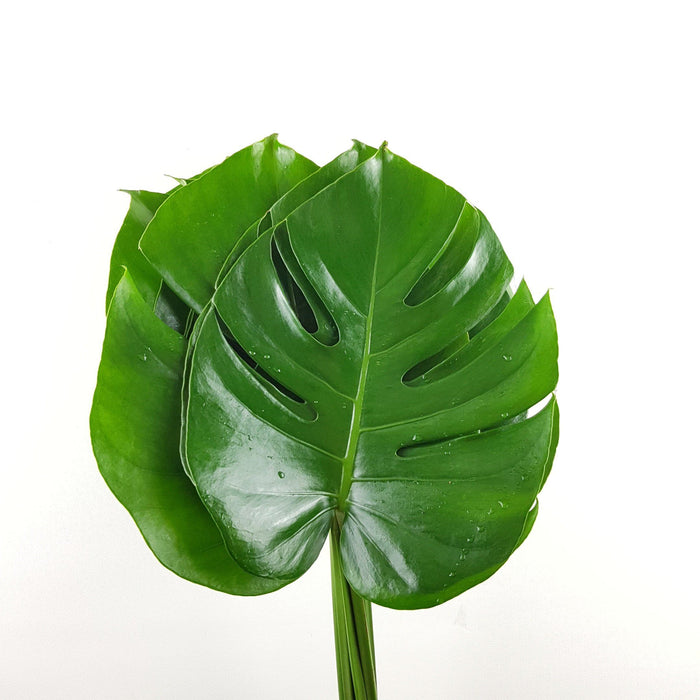 Monstera (Local)