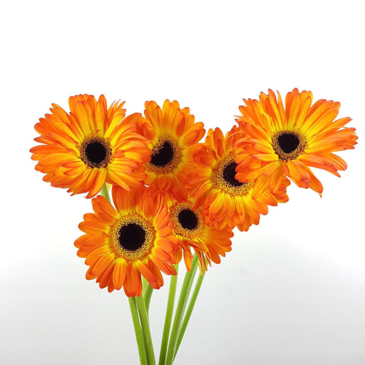 2 Bundle Gerbera (Local) - 2 Tone Orange