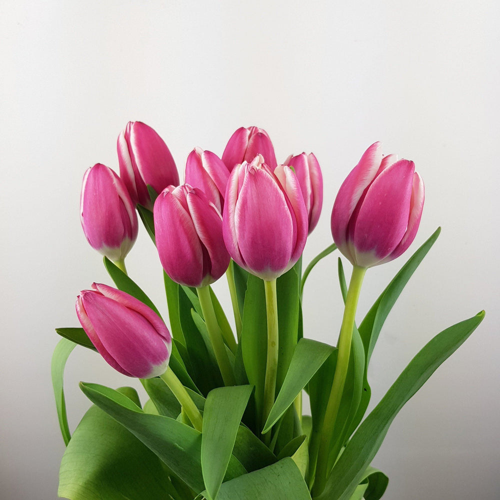 Tulip (Imported) - Pink