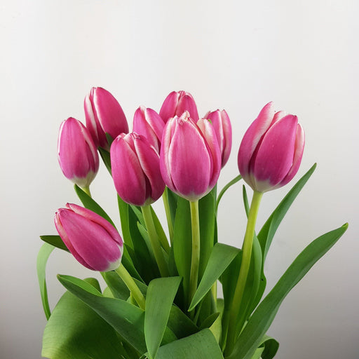 Tulip (Imported) - 2 Tone Pink White