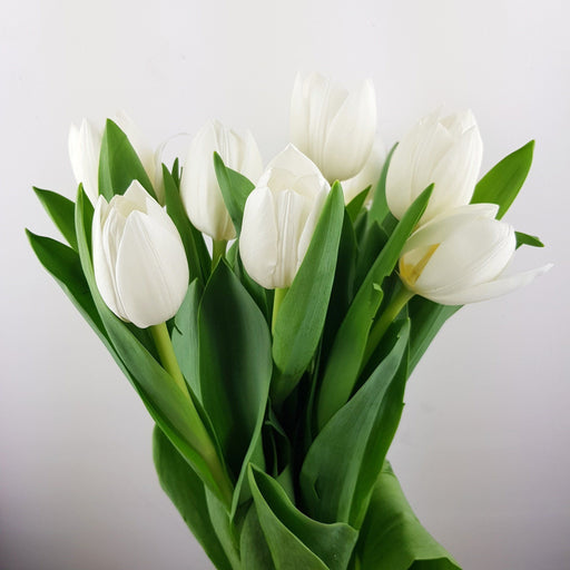 Tulip (Imported) - White