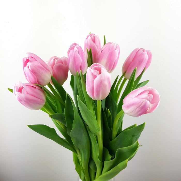 Tulip (Imported) - Light Pink