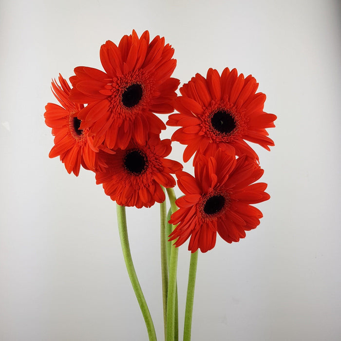 2 Bundle Gerbera (Local) - Red